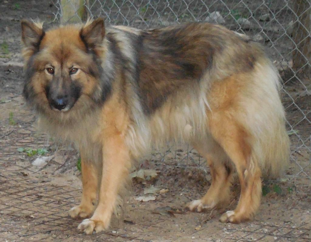 native american shepherd sires  u0026 dams