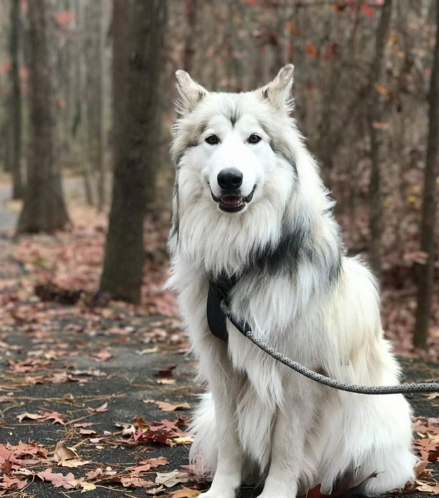 American indian dog breeders
